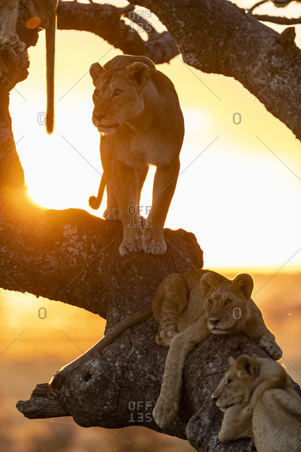 Nature photograph with view of group of lions (Panthera leo) on tree at sunset, Serengeti National Park, Tanzania
