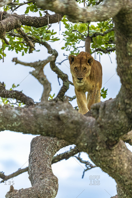 Single lioness (Panthera leo) on tree and looking at camera, Serengeti National Park, Gorongoro District, Tanzania