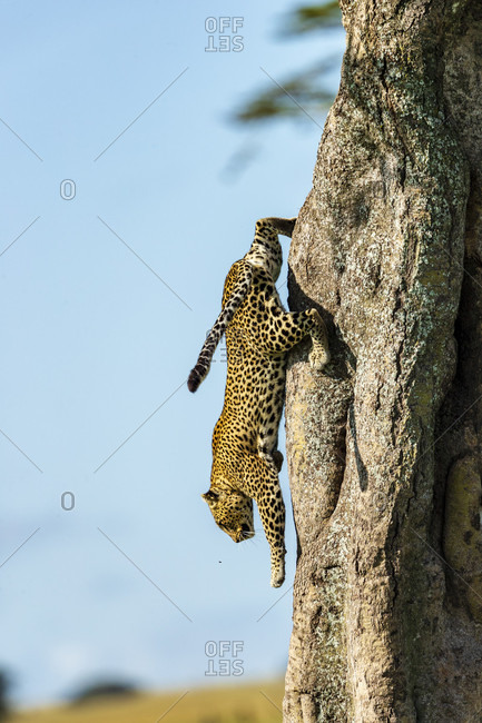 Nature photograph with side view of single leopard (Panthera pardus) coming down from tree, Serengeti National Park, Ngorongoro District, Tanzania