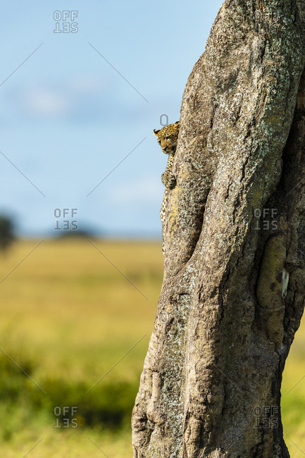 Nature photograph with single leopard (Panthera pardus) coming down from tree, Serengeti National Park, Ngorongoro District, Tanzania