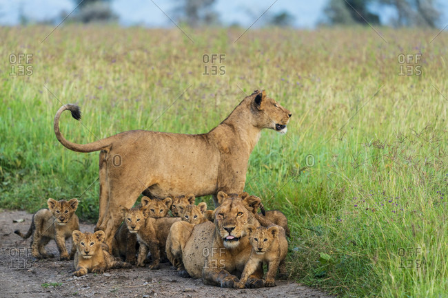 Two lionesses with lots of cubs (Panthera leo), Serengeti National Park, Gorongoro District, Tanzania
