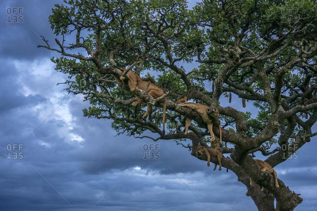 Group of lionesses (Panthera leo) sleeping on tree, Serengeti National Park, Ngorongoro District, Tanzania