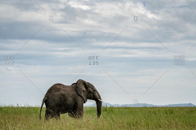 Single African elephant (Loxodonta africana) standing in savannah, Serengeti National Park, Ngorongoro District, Tanzania