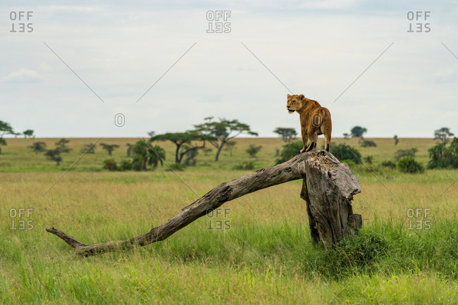 Single lioness (Panthera leo) standing on dead tree in savannah, Serengeti National Park, Ngorongoro District, Tanzania
