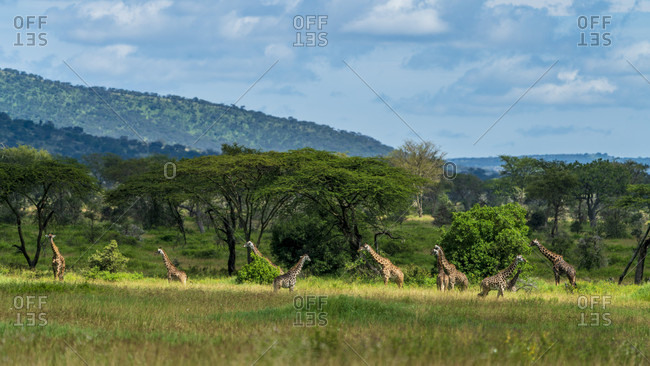 Group of giraffes near acacia trees in savannah, Serengeti National Park, Ngorongoro District, Tanzania