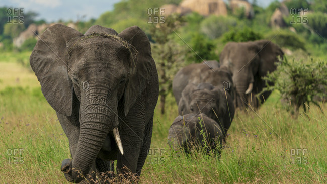 Nature photograph with front view of African elephant (Loxodonta africana) herd walking in savannah, Serengeti National Park, Ngorongoro District, Tanzania
