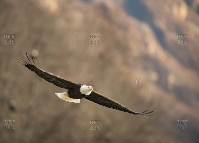 Single bald eagle (Haliaeetus leucocephalus) flying