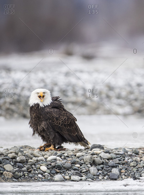 Single bald eagle (Haliaeetus leucocephalus)