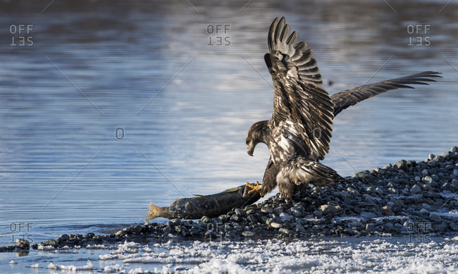 Single bald eagle (Haliaeetus leucocephalus) catching fish