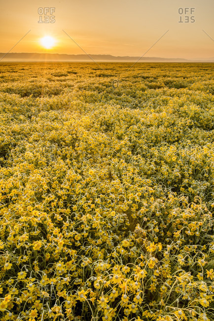 Scenic view of field of yellow wildflowers at sunset,?Carrizo?Plain National Monument, California, USA