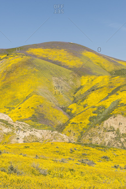 Scenic landscape with yellow wildflowers growing on hills,?Carrizo?Plain National Monument, California, USA