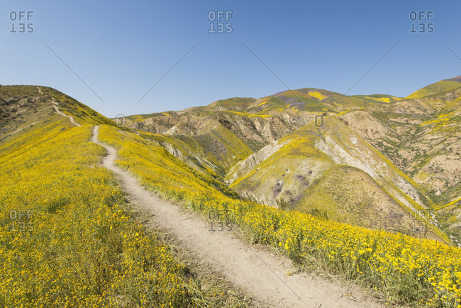 Scenic landscape with footpath on hill among yellow wildflowers,?Carrizo?Plain National Monument, California, USA