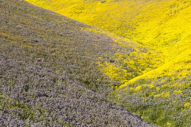 Scenic landscape with yellow and purple wildflowers, Carrizo?Plain National Monument, California, USA