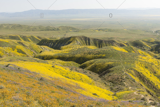 Scenic landscape with yellow wildflowers growing on hills, Carrizo Plain National Monument, California, USA