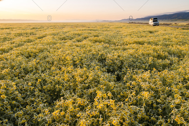 Scenic landscape with field of yellow wildflowers,?Carrizo?Plain National Monument, California, USA