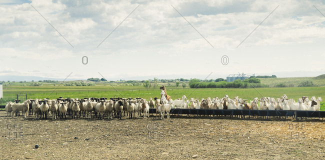 Rural scene with herd of sheep, goats and llama, Ralston, Wyoming, USA