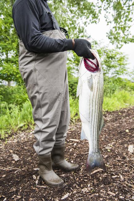 Man holding Striped Bass he caught