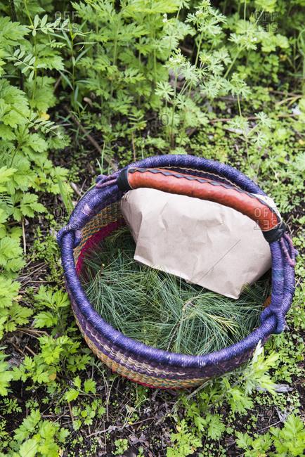 Foraging basket full of White Pine