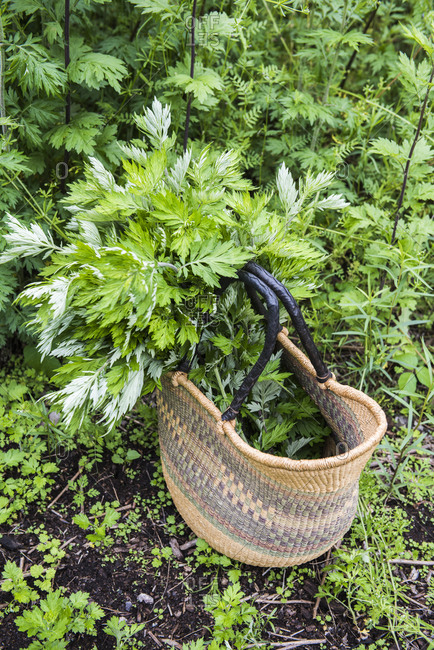 Basket full of freshly foraged Mugwort