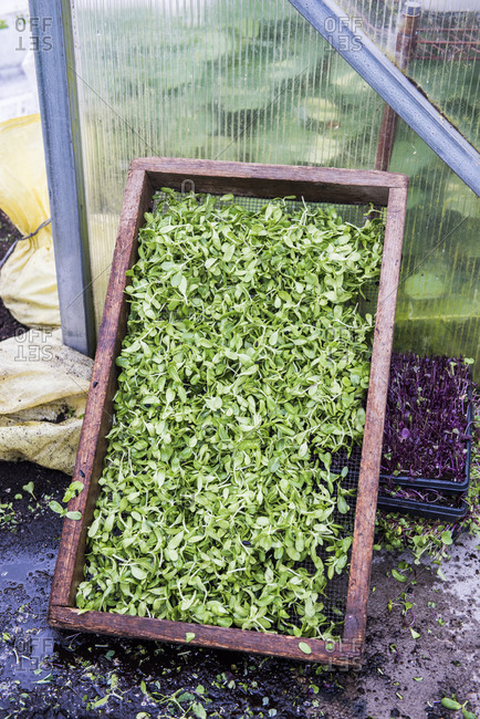 Harvested microgreens in wooden tray