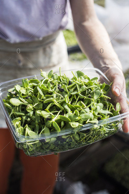 Farmer holding container of freshly harvested organic microgreens