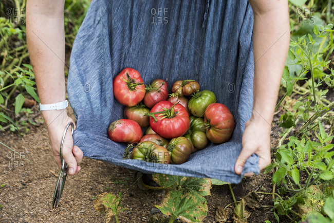 Woman collecting heirloom tomatoes from the garden in her skirt