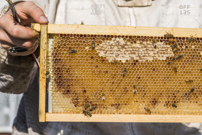Urban beekeeper harvesting honey from honeycomb