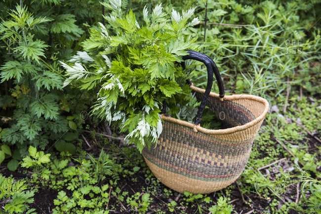 Basket full of foraged Mugwort