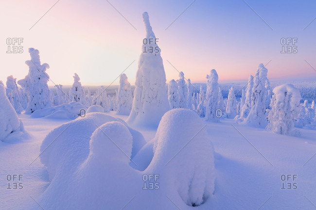 Sunrise on frozen trees, Riisitunturi National Park, Posio, Lapland, Finland, Europe