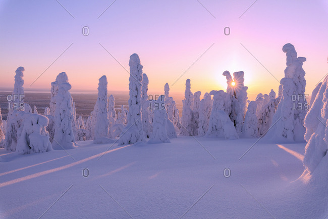Pink sunrise on frozen trees, Riisitunturi National Park, Posio, Lapland, Finland, Europe
