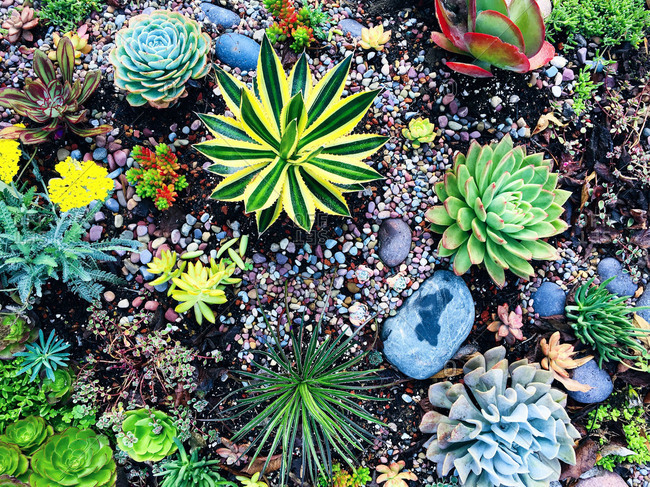 Overhead view of a variety of succulents in a garden