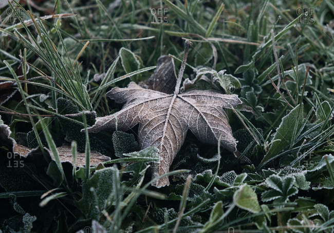 Frost covered leaves and grass