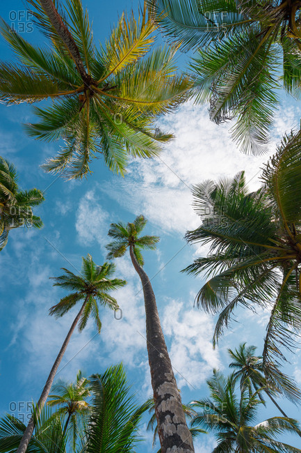 From below shot of tall growing palm trees under blue sky with white clouds, Panama