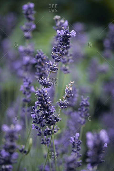 Fresh lavender growing in garden