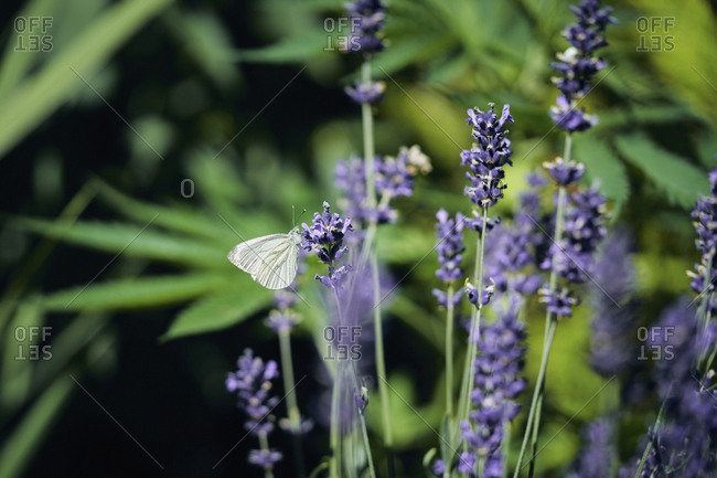 A butterfly on lavender