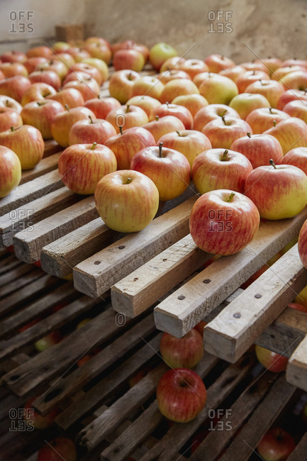 Fresh, ripe harvested apples drying on racks