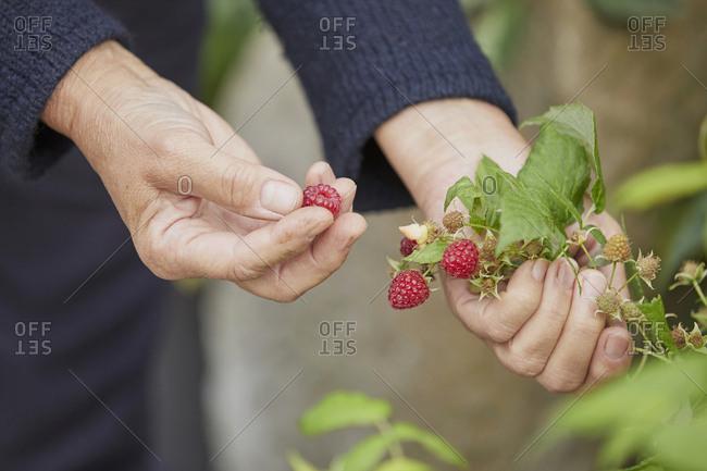 Woman harvesting fresh raspberries