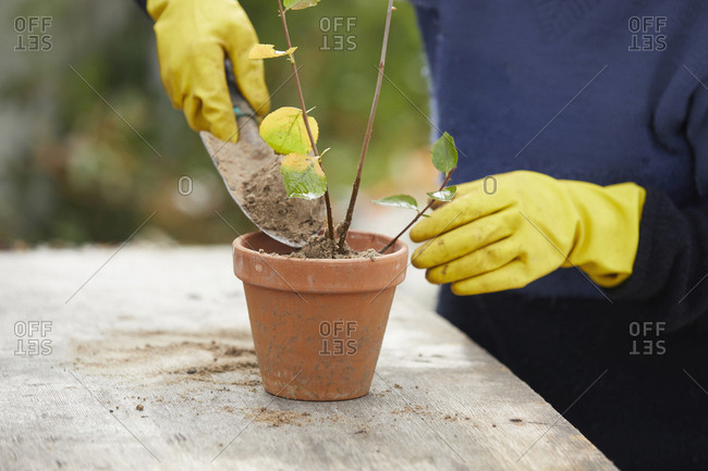 Woman with rubber gloves gardening, potting plant
