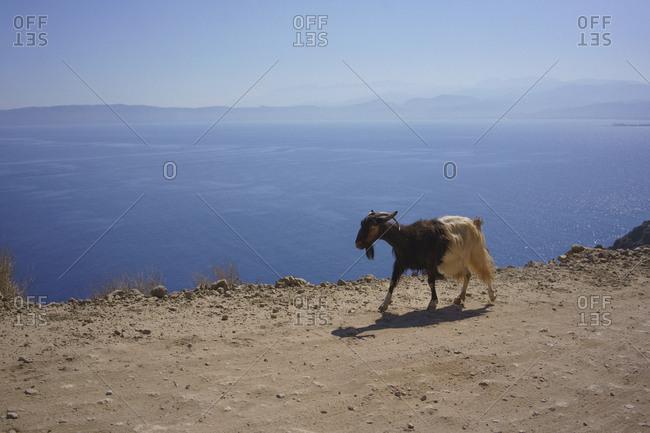 Goat walking along cliff overlooking sunny blue ocean, Crete, Greece