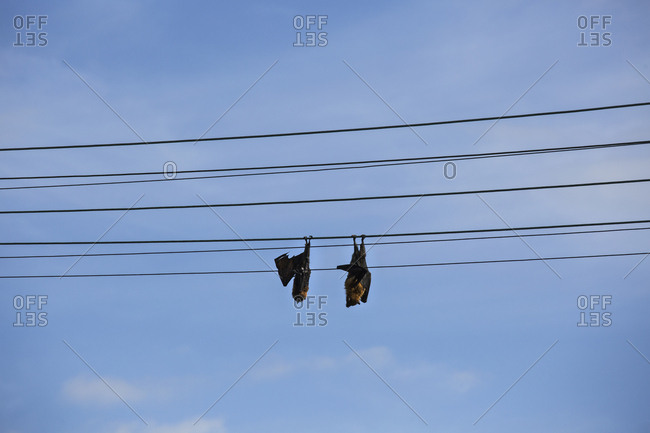 Bats sleeping, hanging upside down on telephone line against blue sky