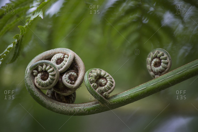 Close up curled fern plant