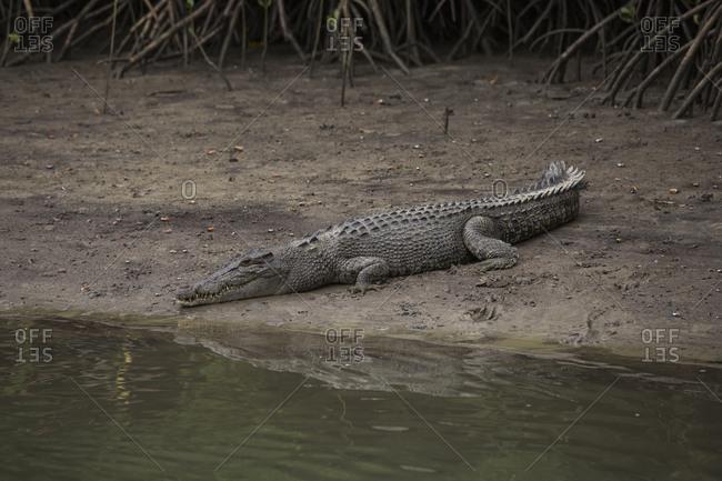 Crocodile laying in dirt at riverside, Cape Tribulation, Queensland, Australia