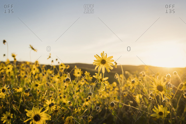 Meadow of yellow daisies