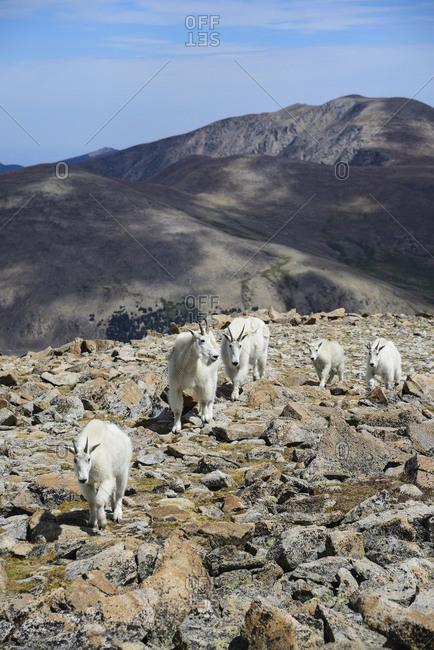 Mountain goats on Square Top Mountain in Colorado