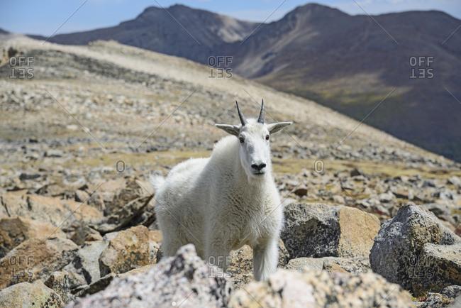 Mountain goat on Square Top Mountain in Colorado