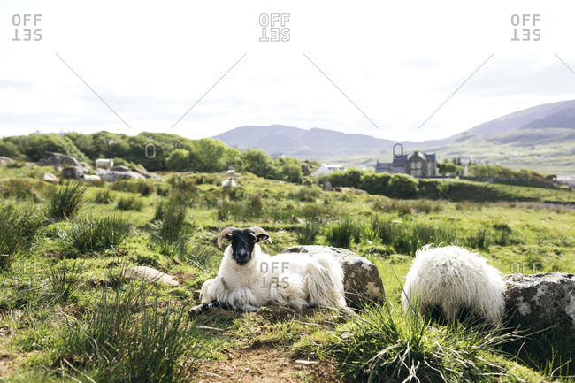 Sheep sitting in field on Isle of Skye, Scotland
