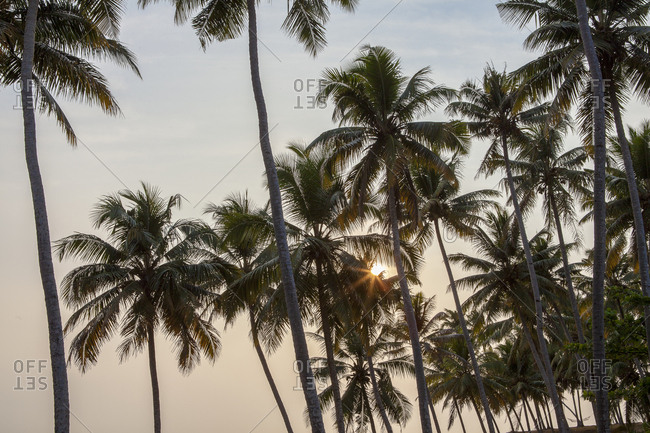 Palm trees in Varkala, India