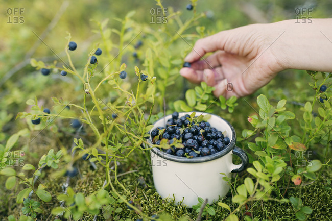 Hand picking blueberries in Heinola, Finland