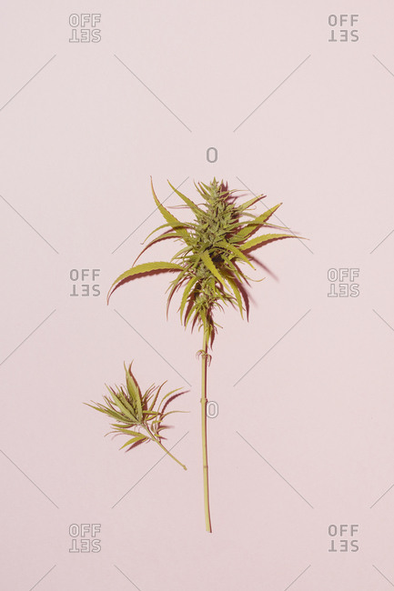 Cannabis leaf on pink background- copy space