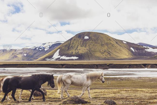 Iceland- Highlands of Iceland- Landmannalaugar- Icelandic horses- Fjallabak Nature Reserve